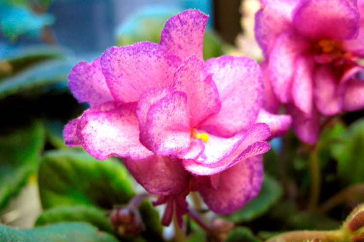 African violet, Laughing Anna