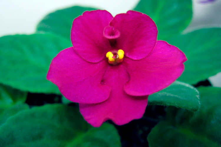 African violet, Haggen