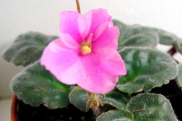 African violet, Natasja