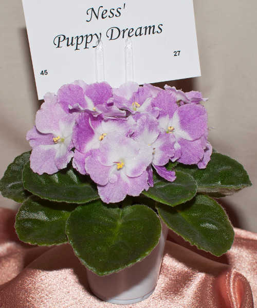 African violet, Ness Puppy Dreams