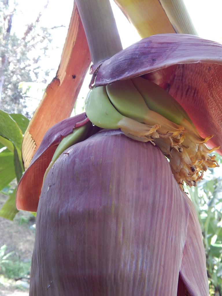 Banana hand above flower