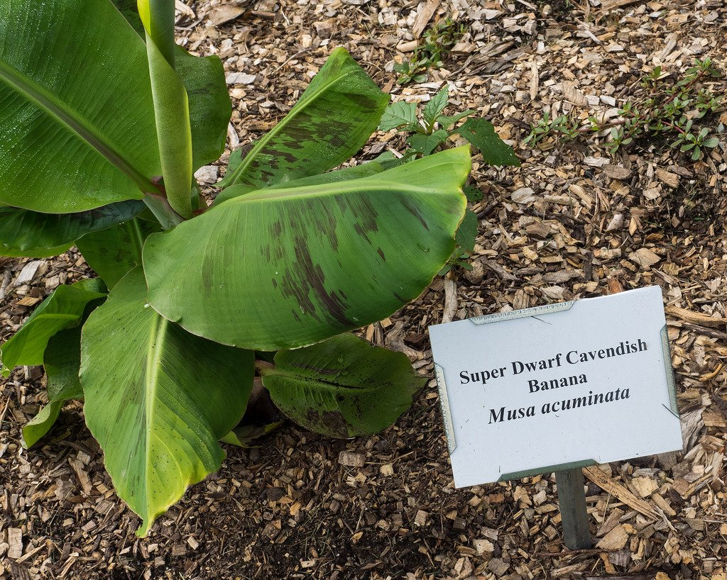 Dwarf banana tree 'Super Dwarf Cavendish'