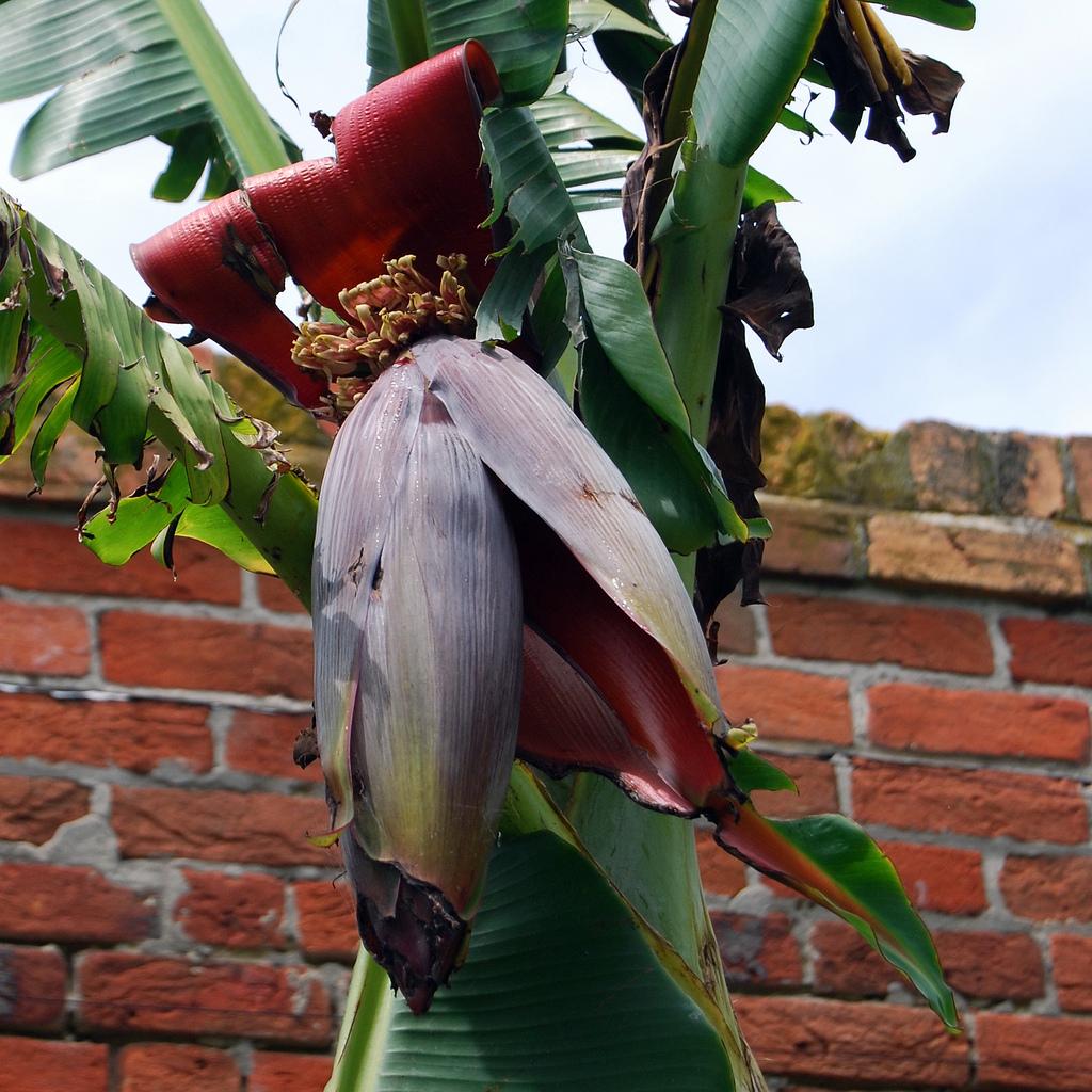 Dwarf banana tree, 'Lady Finger'