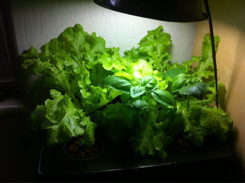 Ido Simon's Lettuce