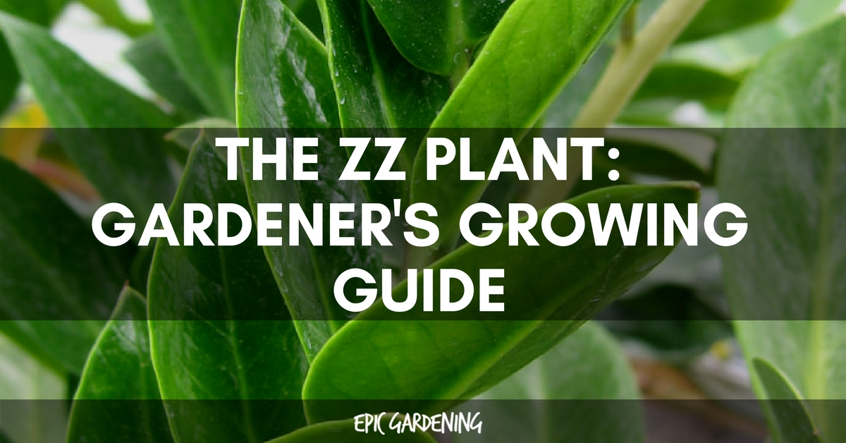 Zz Plant Zamioculcas Zamiifolia Care And Growing Guide