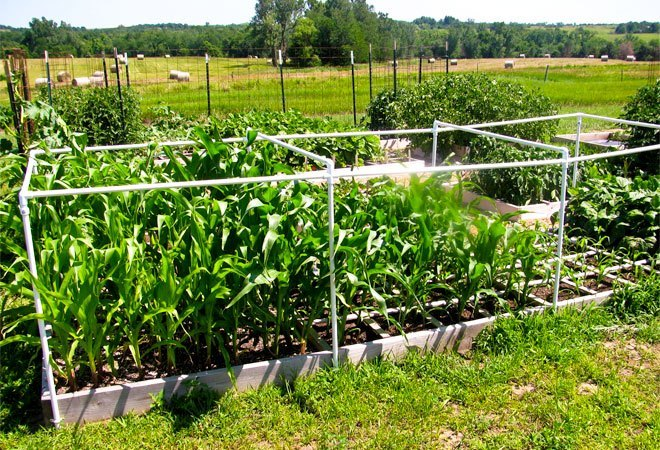 square foot corn garden