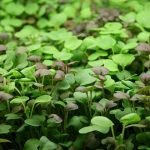 microgreens-without-soil