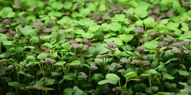 Is It Smart To Grow Microgreens Without Soil?