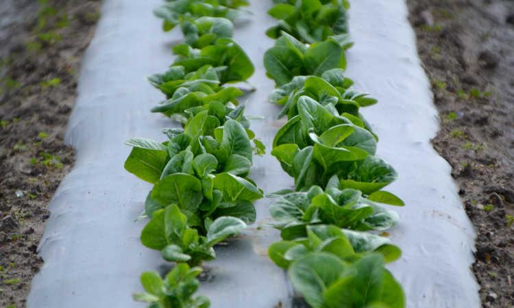 Little Gem lettuce rows