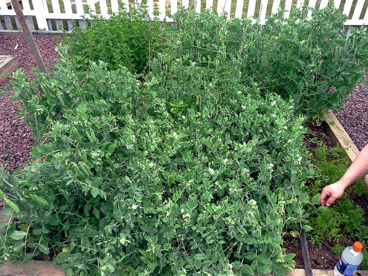 Pea plants nearing harvest