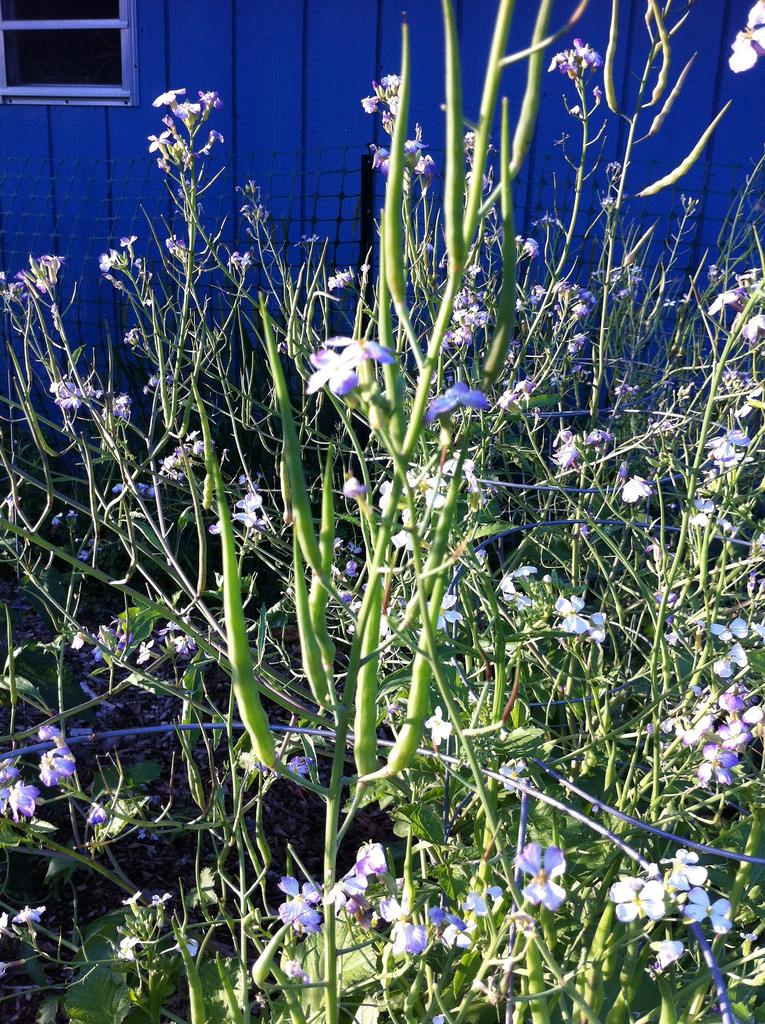 Rat Tail radish plants
