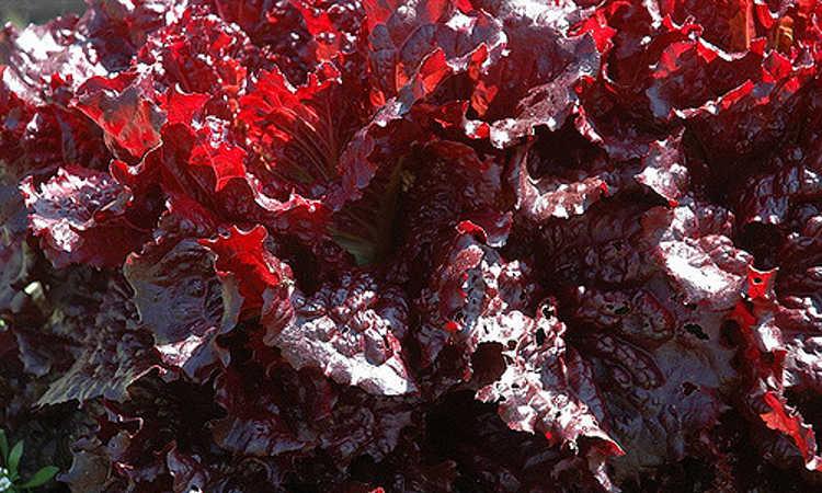 Merlot lettuce
