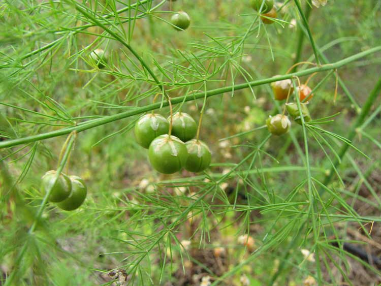Asparagus seed pods forming