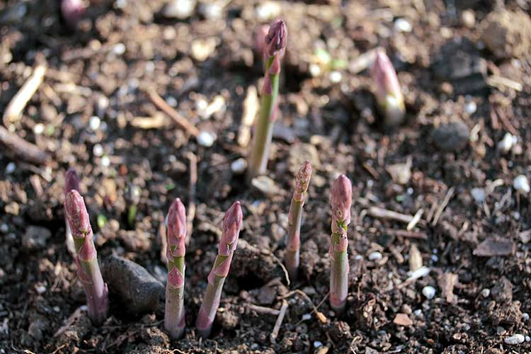 Newly emerging purple asparagus shoots