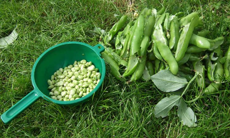 Shelling beans for dinner