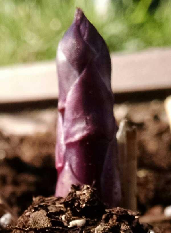 Small asparagus spear emerging