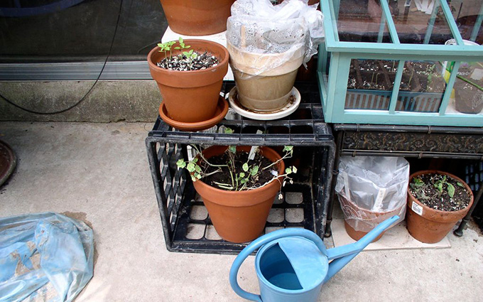 Use Plastic Bags To Create Mini Greenhouses
