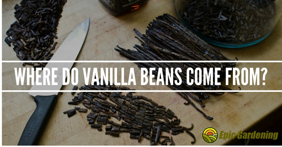 Where do vanilla beans come from?