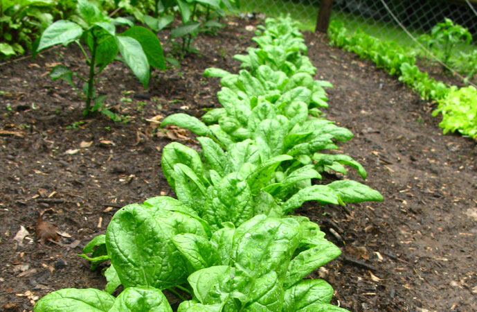 Fall Spinach