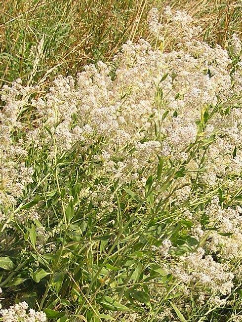 Lepidium-latifolium