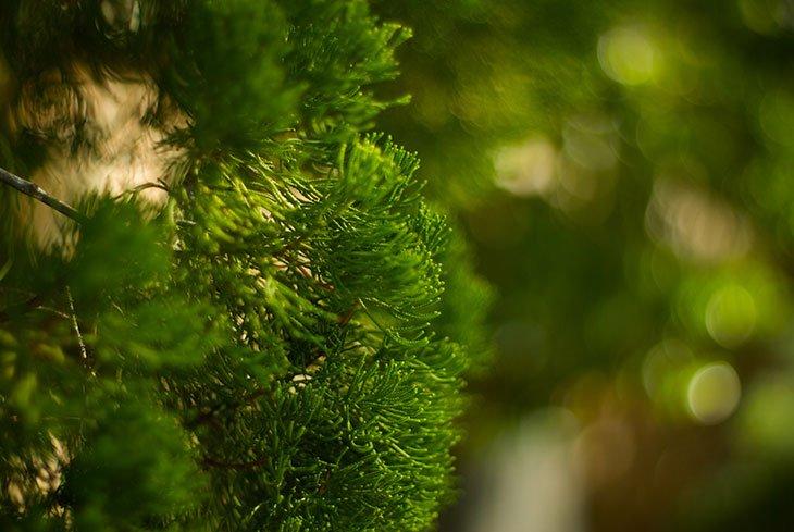 Foraging for Cedar