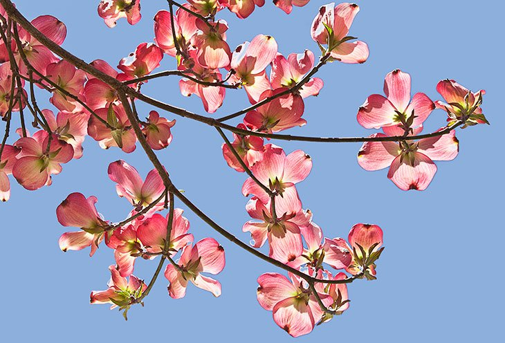 Foraging for Dogwood Blossoms