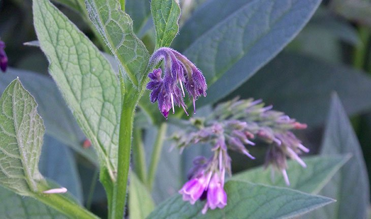 Foraging for Wild Comfrey