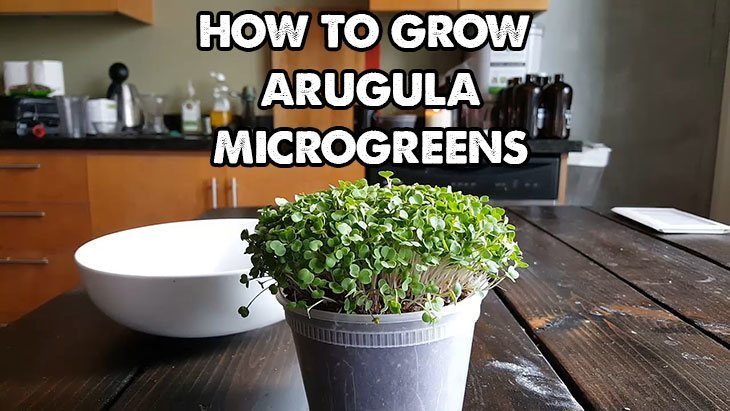How to grow arugula microgreens