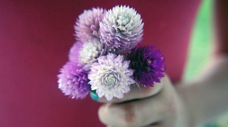 Globe Amaranth Summer Flower