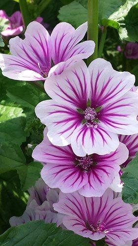 Hollyhock Mallow Summer Flower