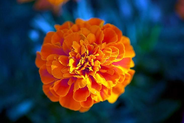 Marigolds Summer Flower