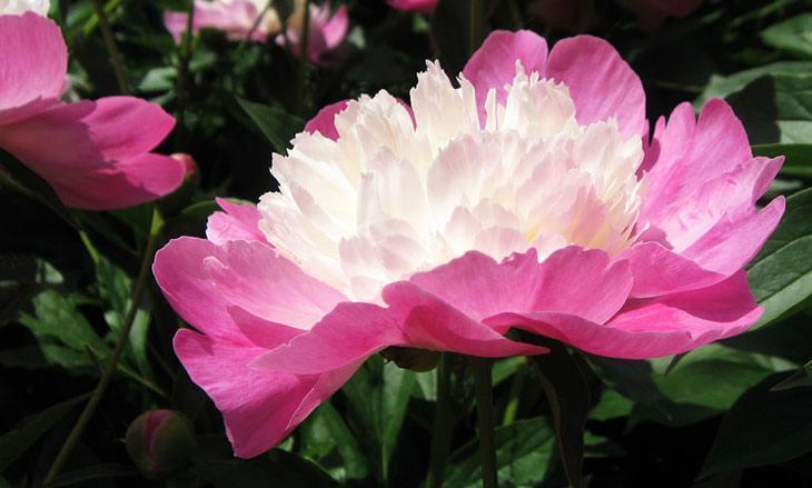 Peonies Summer Flower