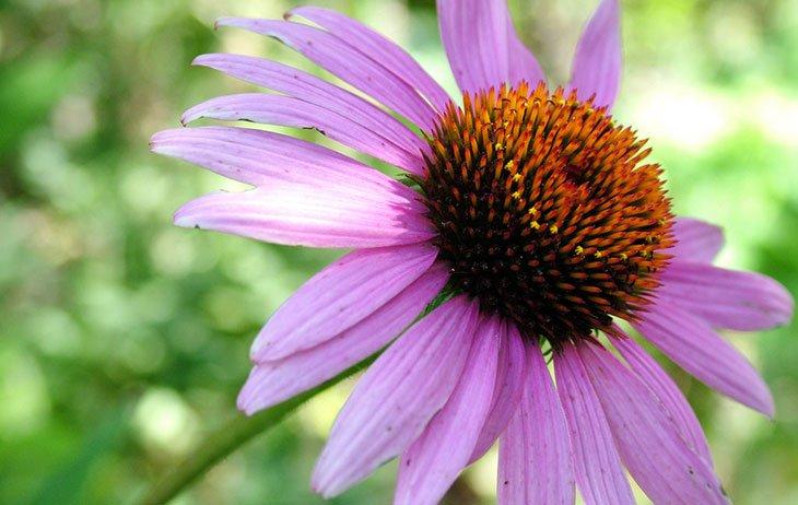 Purple Coneflower Summer Flower