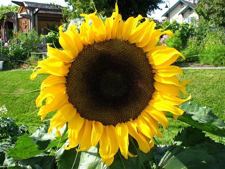 Sunflower Summer Flower