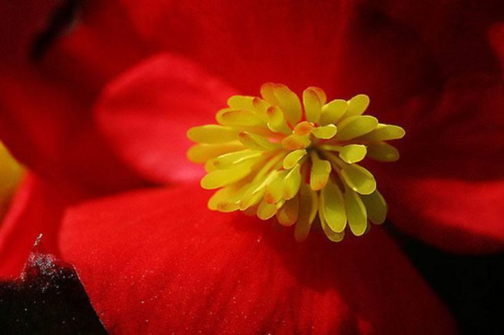 Wax Begonias Summer Flower