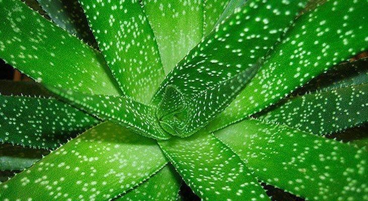 Aloe Vera house plant for air purification and sleep