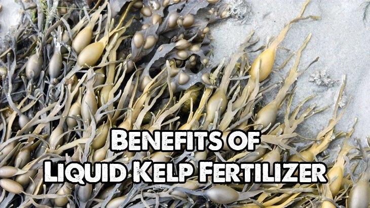 Benefits of Liquid Kelp Fertlilizer
