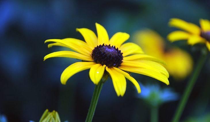 Brown-Eyed Susan Summer Flower