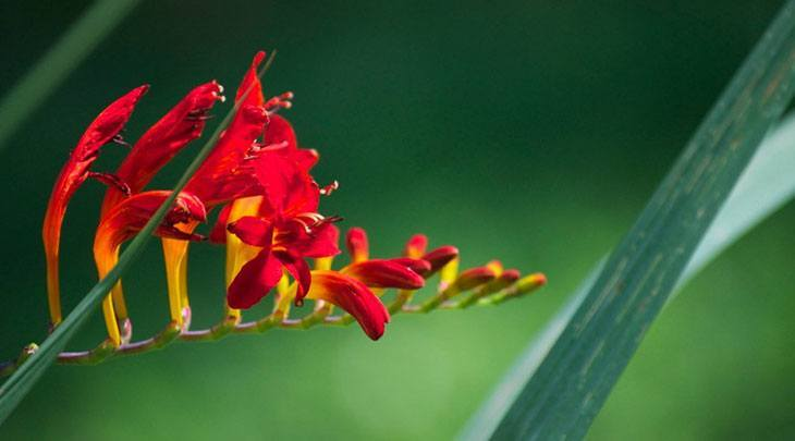 Crocosmia Summer Flower