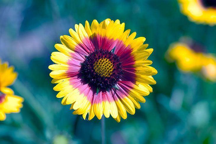Gaillardia Summer Flower