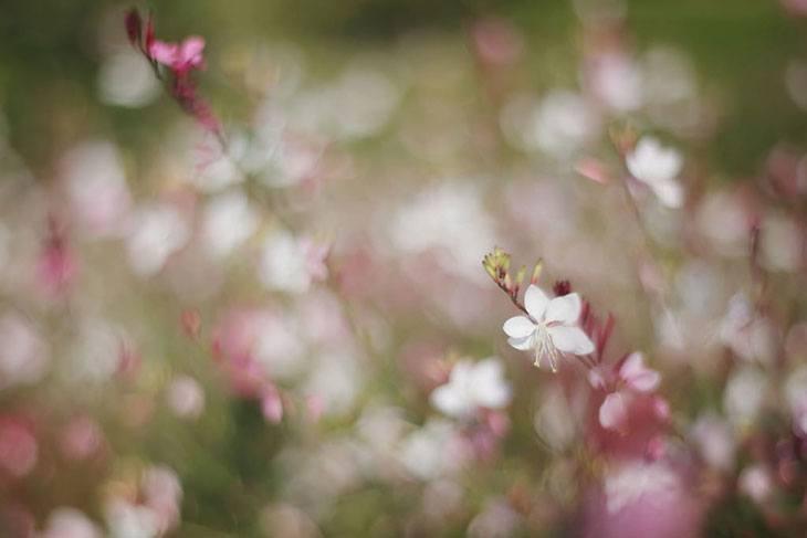 Gaura Summer Flower