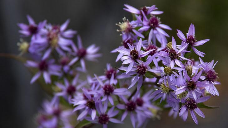 Heart-Leafed Aster