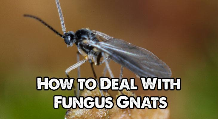 How to Deal with Fungus Gnats