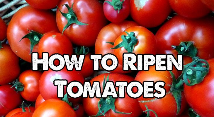 how to ripen tomatoes what works and what doesn 39 t. Black Bedroom Furniture Sets. Home Design Ideas