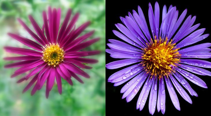 New York and New England Aster