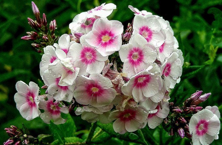 Pink and white phlox Summer Flower