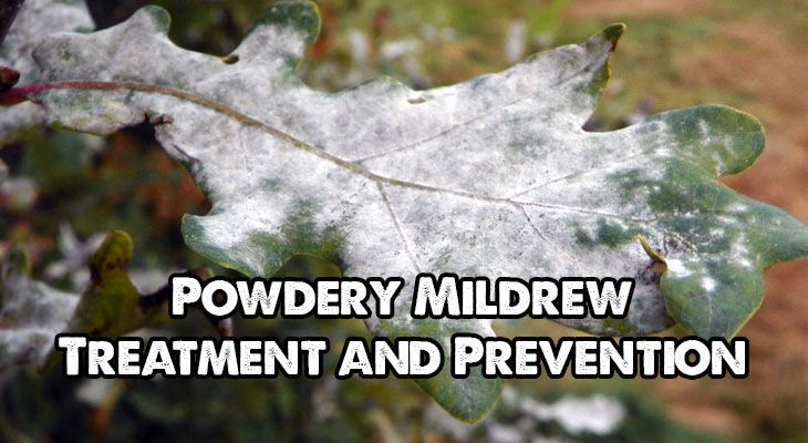 Powdery Mildew Treatment and Prevention