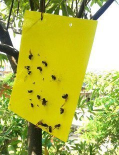 sticky traps for fungus gnats