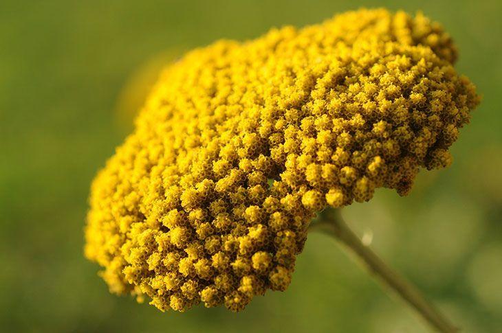 Yarrow Summer Flower