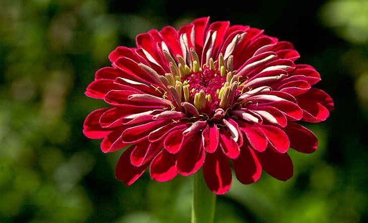 Zinnia Summer Flower